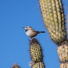 Saguaro and Cactus Wren