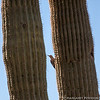Saguaro and Gila woodpecker